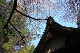 龍潭寺のヤマザクラ