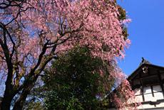 龍潭寺の桜
