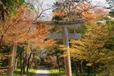 彦根市 井伊神社の桜
