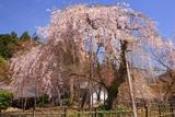 徳源院道誉桜