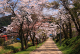 徳源院 参道の桜