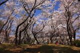 豊公園の桜 お花見