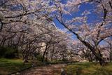豊公園の桜 日本庭園