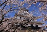 豊公園の桜 天守閣