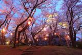 豊公園の桜 宵桜