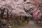 酒波寺 参道の染井吉野