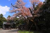 阿志都弥神社のヤマザクラ