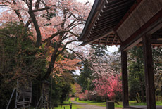 阿志都弥神社の山桜