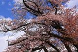 行過天満宮の山桜