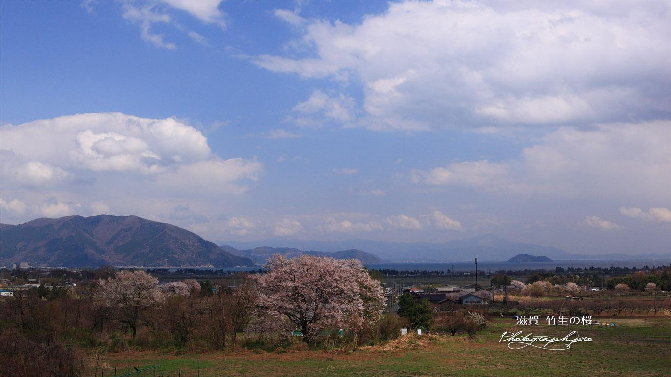竹生の桜 壁紙