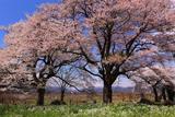 滋賀県の桜