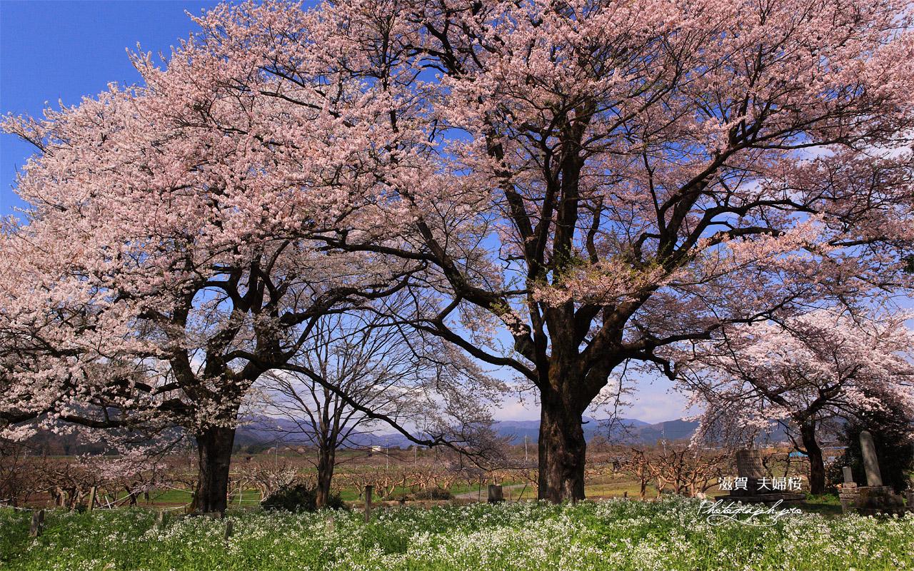 夫婦桜 壁紙