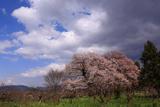 深清水の夫婦桜