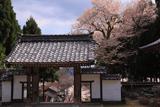 酒波寺の江戸彼岸桜