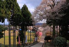 酒波寺の行基桜