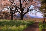 今津の夫婦桜