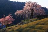 畑の枝垂桜