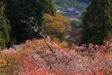 春日神社の山桜