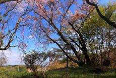 春日神社の桜樹