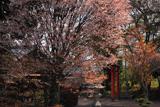 山添村 春日神社の桜