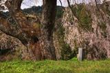大照寺跡のしだれ桜