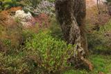 談山神社の小づつみ桜