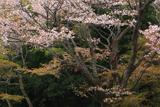 談山神社 ヤマザクラ