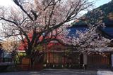 熊野那智大社のヤマザクラの名木
