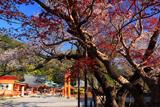 熊野那智大社の山桜