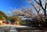 熊野那智大社の白山桜
