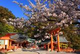 熊野那智大社の秀衡桜