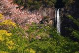 新緑と山桜に那智大滝