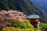 山桜と青岸渡寺三重塔