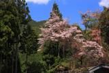 塩野の遠山桜