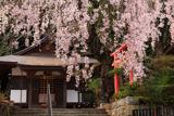 来迎院のしだれ桜