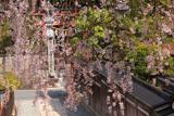 来迎院の枝垂桜
