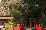 天河大弁財天社の薄墨桜