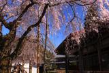 円光寺のしだれ桜