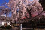 円光寺の枝垂桜