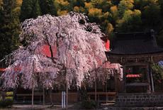 円光寺のシダレザクラ