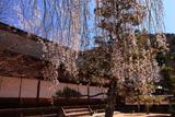 定勝寺のしだれ桜