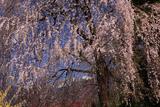 定勝寺の枝垂桜