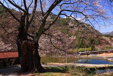 信州木曽の桜