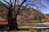 木曽地域の桜