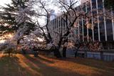 塩尻市役所の桜