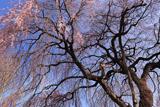 育恩堂の枝垂れ桜