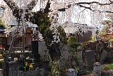 法光寺のしだれ桜