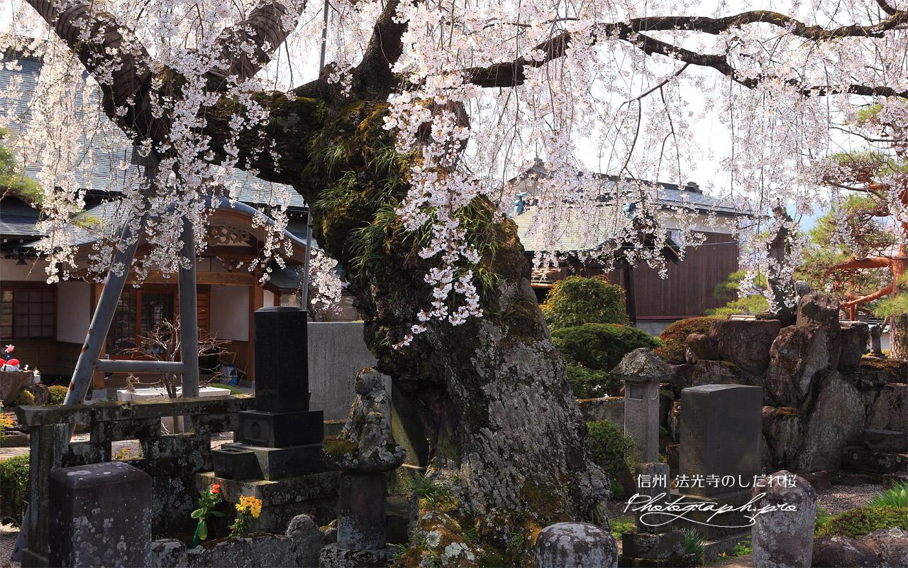 法光寺のしだれ桜 壁紙