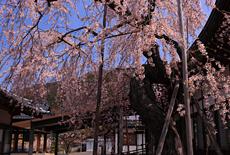 温泉寺のシダレザクラ