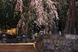 温泉寺のシダレザクラ(A樹)